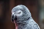 close up view of cute vivid grey parrot looking at camera