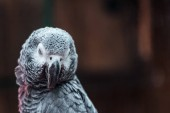 close up view of vivid grey fluffy parrot with closed eyes