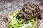 Photo cute turtle eating fresh sliced vegetables in stone bowl