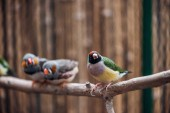 selektivní zaměření barevných rozkošných ptáků na dřevěné větvi