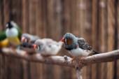 selektiver Fokus bunter Vögel auf hölzernen, strukturierten Zweigen