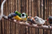 selektivní zaměření barevných exotických ptáků na dřevěné větvi