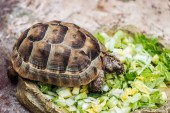 Photo cute turtle eating fresh chopped green lettuce from stone bowl