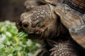 Photo close up view of cute turtle eating lettuce from bowl