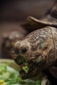 Photo close up view of funny turtle with open mouth eating lettuce