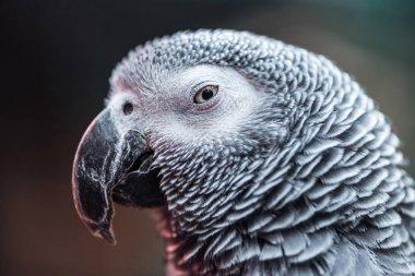 close up view of vivid grey fluffy parrot looking at camera