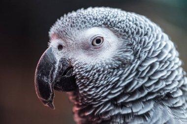 Close up view of vivid grey parrot looking at camera stock vector