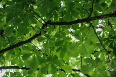 bottom view of chestnut tree with green leaves on branches