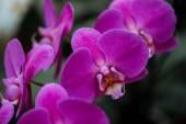 zblízka pohled na purpurové květy orchidejí s velkými okvětní