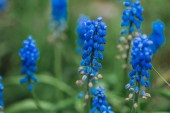 selective focus of bright blue flowers and green leaves
