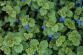 pohled na keř se zelenými listy a malými modrýma květinami