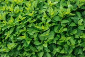 green colorful leaves on blooming bush, seamless background
