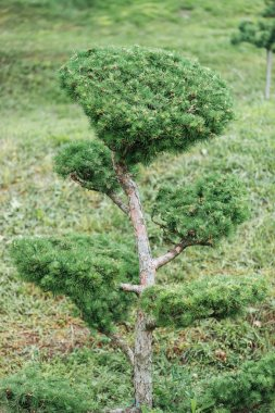 evergreen small pine tree ion meadow with grass