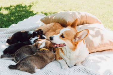 dog lying on white blanket near pillows on green lawn and feeding puppies