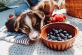 adorable puppies eating strawberries and blue berries together from bowls during picnic at sunny day