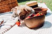 cucciolo carino giocare con le fragole sparsi dalla ciotola durante il pic-nic a giorno di sole