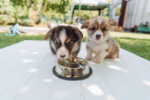 cute puppies drinking water from silver pet bowl on wooden construction in garden