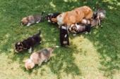 walisischer Corgi-Hund mit Welpen ruht im Sommer im grünen Garten