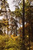malebný podzimní les s vysokými stromy a zlatým listím na slunci