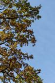 Fényképek őszi fa arany lombozat kék ég háttér napfényben