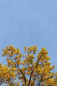 Fotografie podzimní strom se zlatým listím na modré obloze pozadí na slunci