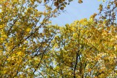 autumnal tree with golden foliage on blue sky background in sunlight