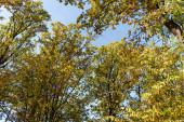 podzimní strom se zlatým listím na modré obloze pozadí na slunci