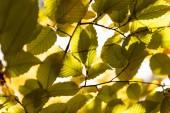 Nahaufnahme von herbstlich goldenem Laub auf Ästen im Sonnenlicht
