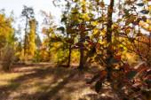 selektivní zaměření větve stromu v podzimním lese se zlatým listím