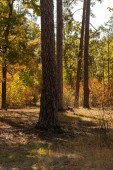 malebný podzimní les s dřevěnými kmeny stromů na slunci