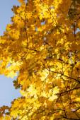 közeli kilátás őszi fa arany lombozat kék ég háttér