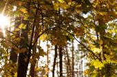 Fotografie nízký úhel pohledu na malebný podzimní les se zlatým listím a větvemi stromů ve slunečním světle