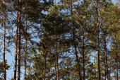 picturesque forest with green tall pines in sunlight