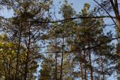 nízký úhel pohledu na malebný les se zelenými vysokými borovicemi na slunci