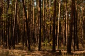 picturesque autumnal forest with tall pines in sunlight