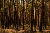 malebný podzimní les s vysokými borovicemi na slunci