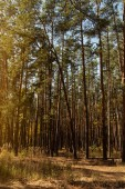 Fényképek festői őszi erdő arany fákkal és magas fenyőkkel a napfényben