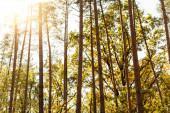alacsony szög kilátás őszi fák kék ég háttér a nap