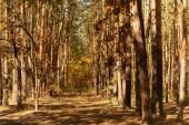 Fotografie malebný podzimní les s kmeny stromů a stezkou na slunci