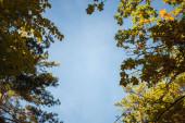 Fotografie spodní pohled na vrcholky stromů na modrém pozadí oblohy