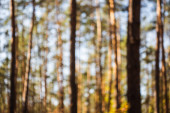 defocused image of scenic autumnal forest with wooden tree trunks in sunlight