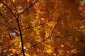 Fotografie zblízka pohled na oranžové javorové listy na větvi