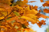 close up view of orange maple leaves on branch