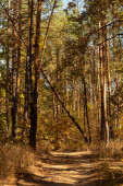 scenic autumnal forest with wooden trunks and path in sunlight