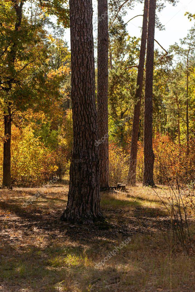 Фотообои живописный осенний лес с деревянными стволами деревьев в солнечном свете