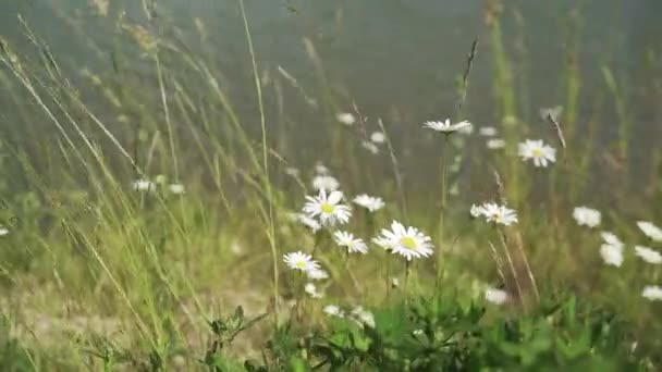 Chamomile in the forest. Healing daisies. Chamomile in medicine. Beautiful nature scene with blooming chamomiles