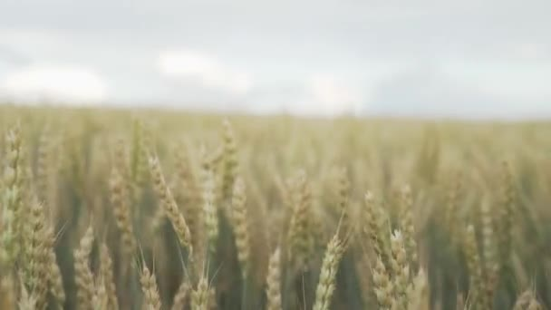 Wheat field in sunset. Video. Ears of wheat close up. Harvest and harvesting concept. Field of golden wheat swaying. Nature landscape. ears of wheat swaying in the breeze at sunset