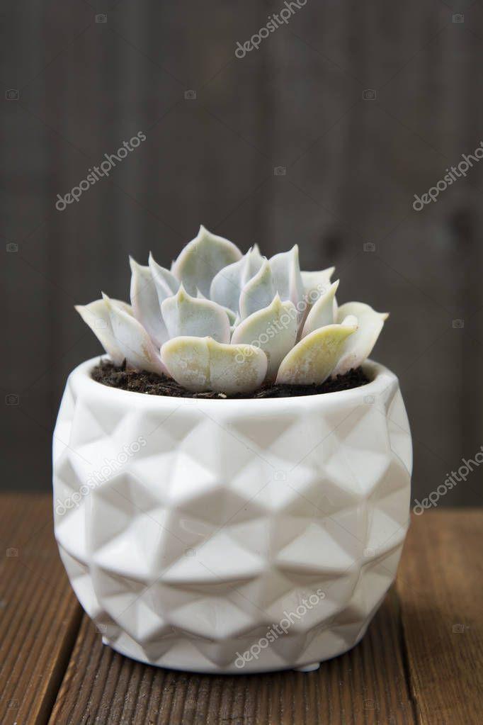Stylish echeveria succulent plant isolated. Decorative indoor plant in white stylish pot. wooden background.