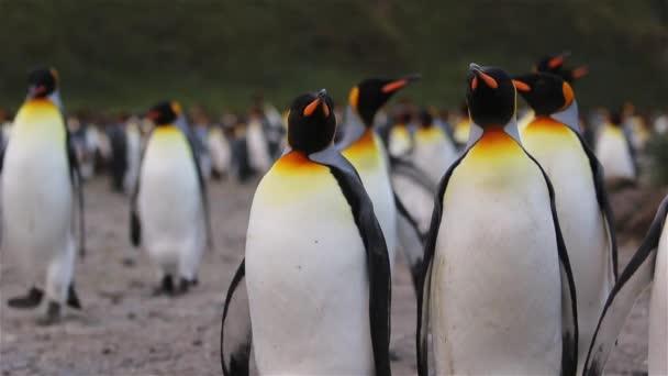 Király pingvin kolóniát, a Dél-Georgia