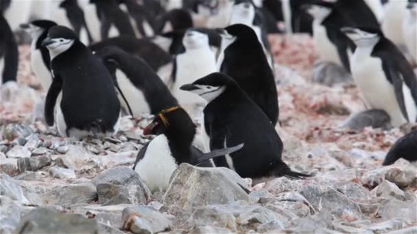 Macaroni Penguins at South Georgia Island